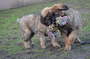 Touwtrekken voor puppies